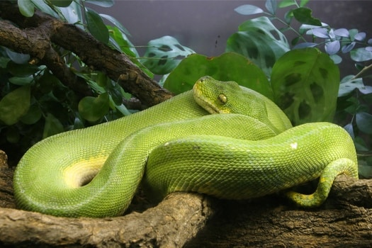 green tree pythons eating habits