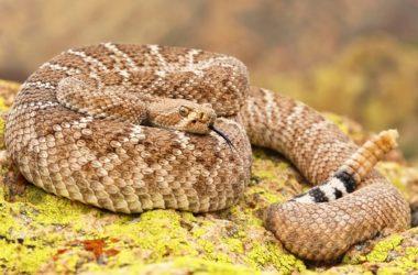 how many venomous snakes are in Arizona?