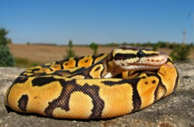 Best Ball Python Morphs