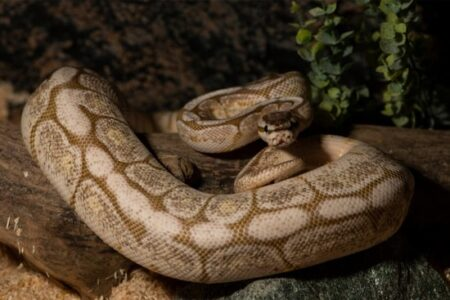 Most favorite Ball python morph