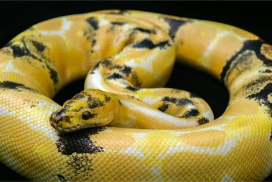 Paradox calico morph Ball python