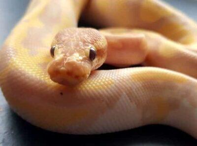 banana ball python facts