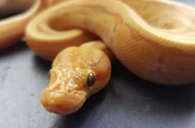 banana ball python pet snake