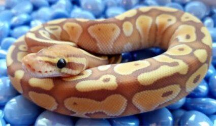 banana ball python vs coral glow