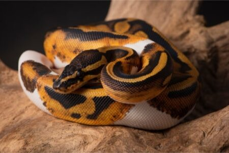 how are ball python morphs created?