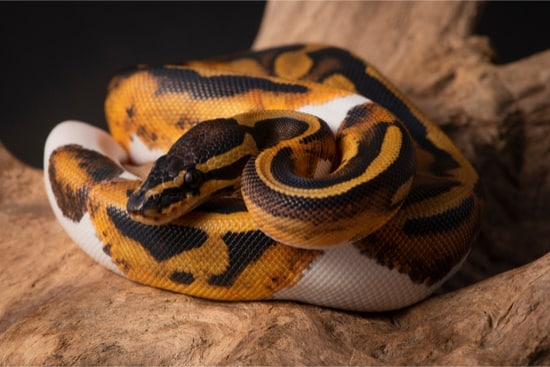 Best Ball Python Morphs (Without Head Wobbles + Genetic