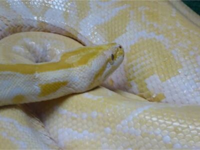 how big do banana ball pythons get?