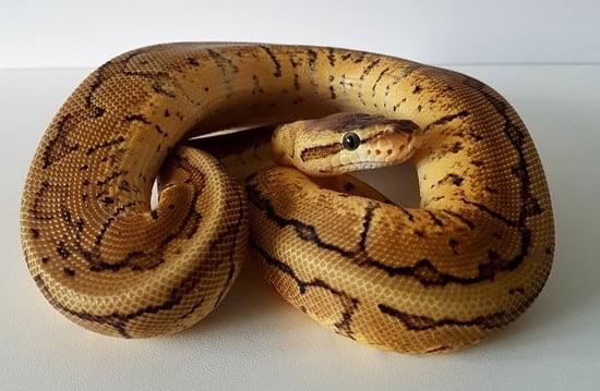lemon blast ball python
