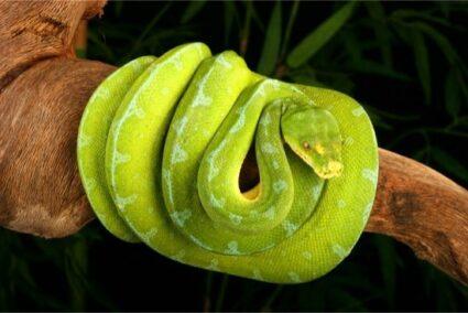 Green Tree Python Temperament