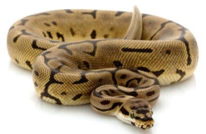 Leopard spider ball python
