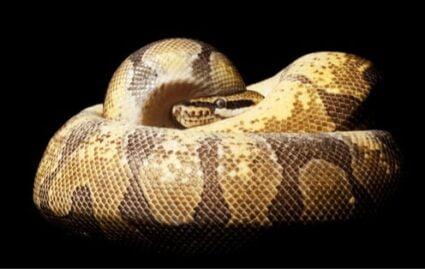 Super Enchi ball python