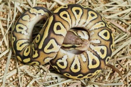 are butter and lesser ball pythons the same?