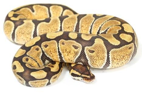 butter ball python morphs