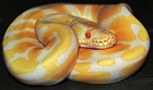 candino ball python genetics