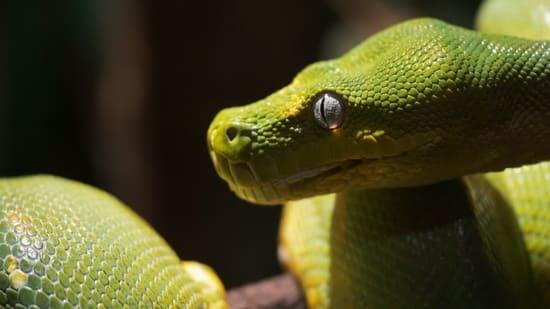 green tree python biting