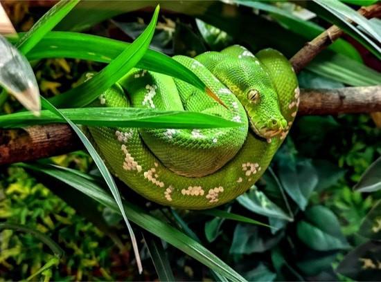 how do green tree pythons kill their prey?