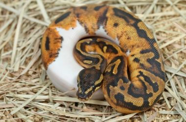is the spider ball python banned?