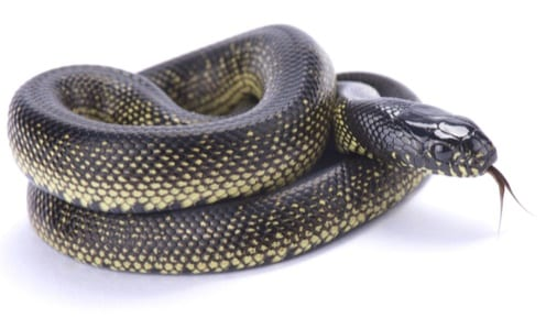 mexican black kingsnakes as pets