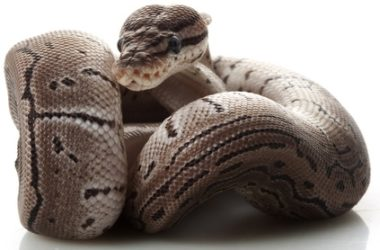 what is an axanthic ball python?