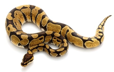 what is an enchi ball python?