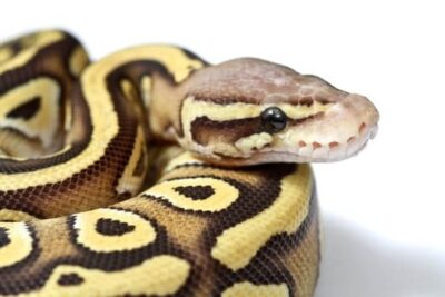 what makes a butter ball python?