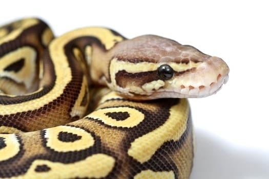 what makes a butter ball python?