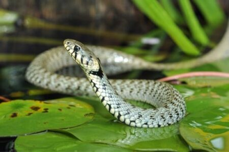What Do Grass Snakes Look Like?
