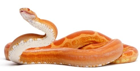 What is a scaleless corn snake?