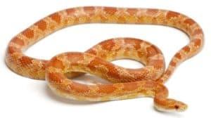 What is an Okeetee Corn Snake?