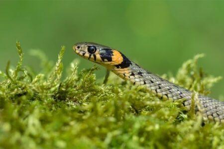 do grass snakes make good pets?