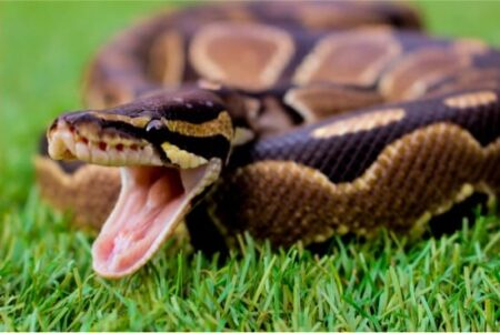 how to socialize a ball python