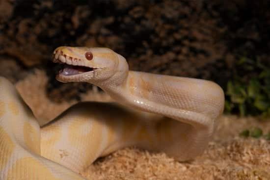 nippy ball python