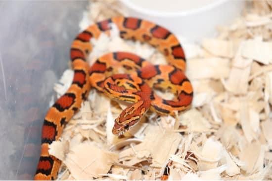 okeetee corn snake morphs
