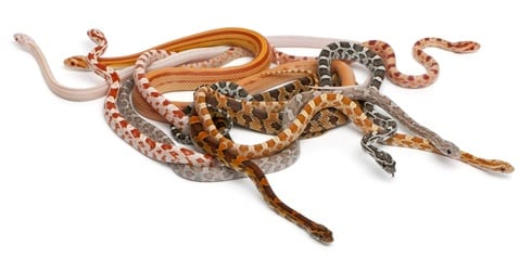 scaleless corn snake genetics