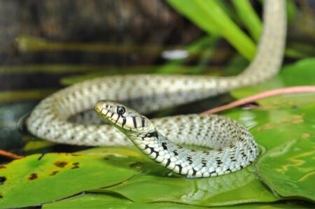 what do grass snakes eat?