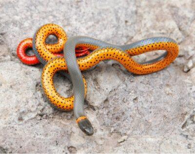 Are ringneck snakes venomous?
