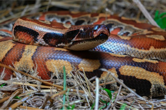 are blood pythons aggressive?