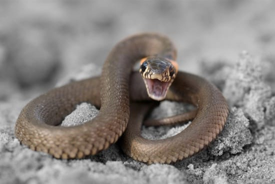 can a ringneck snake kill you?