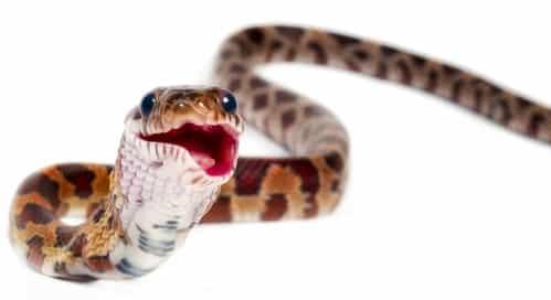 corn snake aggressive after feeding