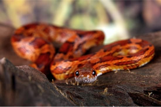 how long does It takes to tame a corn snake?