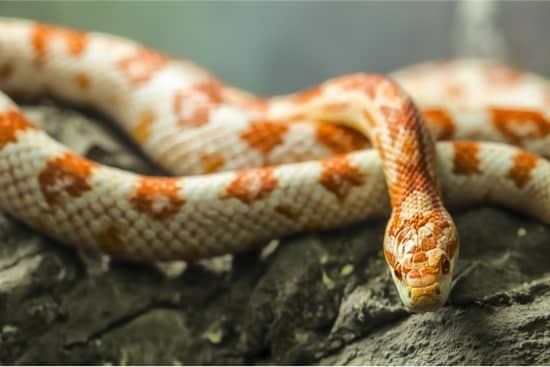 how to handle an aggressive corn snake