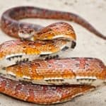 how to train a corn snake not to bite