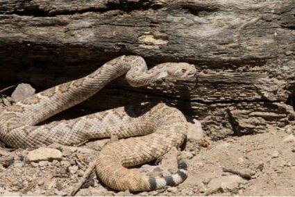 rattlesnake terrain