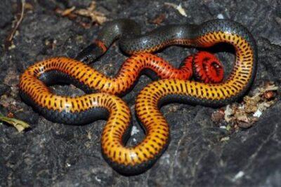 ringneck snake toxicity
