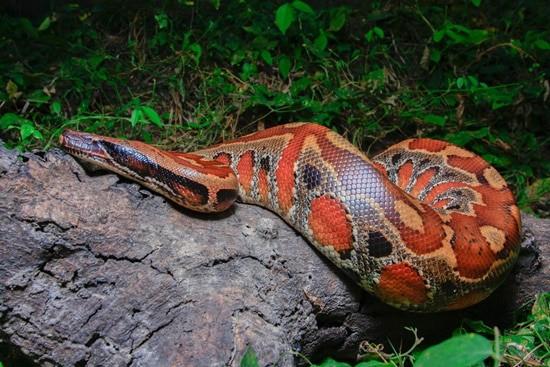 Blood Python tank size