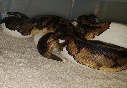 Male vs. Female Snake Spurs