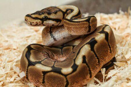 do ball pythons burrow?