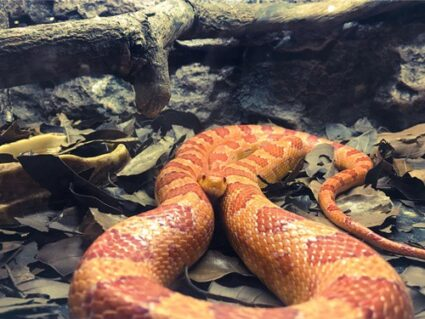 facts about corn snakes