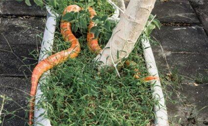 fun Corn Snake Facts