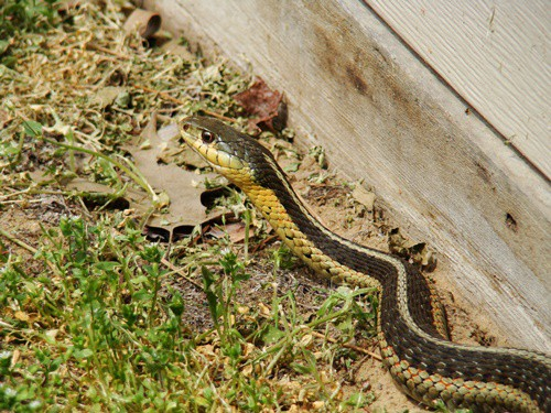 how to know if there are snakes in your yard